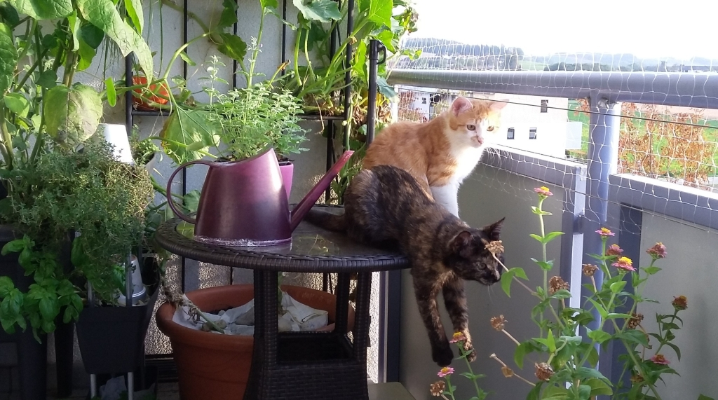 Clio (rot-weiße Katze) & Trixie (Schildpatt-Katze)