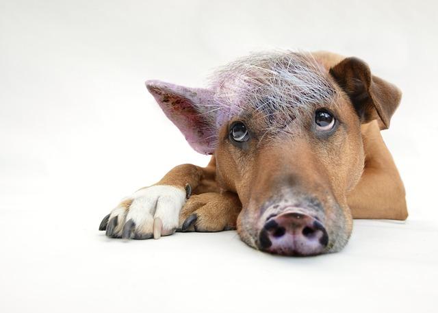 https://pixabay.com/de/schweinehund-innerer-schweinehund-2613125/